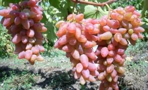 виноградарь