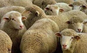 специалист по стрижке овец